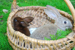 Rabbits are sitting in the basket Stock Image