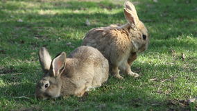 Rabbits sitting on grass stock footage