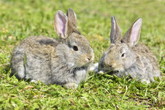 Rabbits sitting outdoors in spring Stock Image