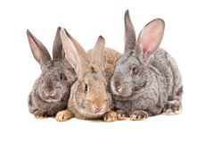 Rabbits sitting together Royalty Free Stock Photography