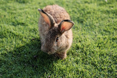 Rabbits are small mammals. In the family Leporidae of the order Lagomorpha Stock Photos
