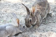 Rabbits with the soft hair and long ears Stock Photo