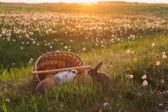Rabbits at sunset Royalty Free Stock Image