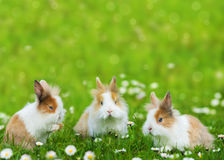 Rabbits. Three dwarf rabbits in a spring meadow