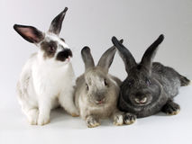Rabbits together. Royalty Free Stock Photography