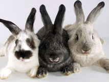 Rabbits together. Royalty Free Stock Photo