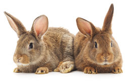 Rabbits Royalty Free Stock Image