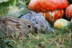 Rabbits and vegetable marrows Stock Photos