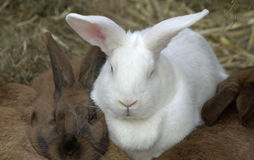 Rabbits. White rabbait sitting in between and brown rabbits Royalty Free Stock Images
