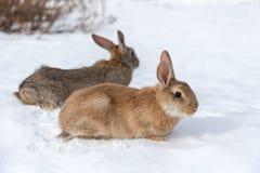 Rabbits on white snow Royalty Free Stock Image