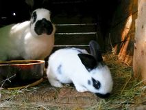 Rabbits in wooden hutch, female with cub royalty free stock photos