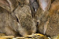 Rabbits2 Immagine Stock