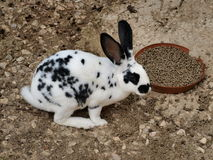 Rabbitspots.. Dinertime for the rabbit with the spots Royalty Free Stock Photo