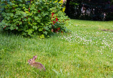 年轻rabbitt和红浆果 免版税图库摄影