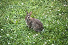 Rabbitt 1 Royalty Free Stock Images