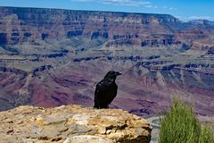 Rabe bei Grand Canyon Arizona - USA Lizenzfreie Stockbilder