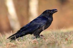 Rabe (Corvus corax) stockbild
