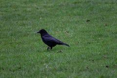 Rabe, der in das Gras tritt stockfoto
