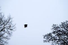 Rabe hochfliegend im Himmel stockfotos