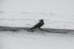 Rabe im Winter bei Schneesturm royalty free stock photos