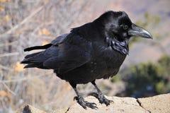 Rabe ist eins einiger groß-bodied Spezies Klasse Corvus Lizenzfreie Stockfotografie