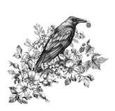 Rabe mit Himbeere in der Schnabel-Bleistift-Zeichnung stock abbildung
