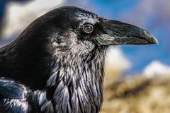 Rabe, Nationalpark Banffs, Alberta, Kanada Stockfotografie
