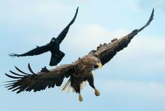 Rabe und weißer angebundener Adler im Flug lizenzfreies stockfoto