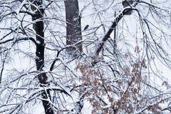 Rabenkrähe auf einer Niederlassung umfasst mit Schnee lizenzfreie stockfotografie