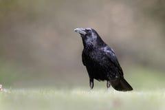 Rabenkrähe, Corvus corone Stockbilder