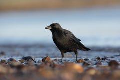 Rabenkrähe, Corvus corone Stockfoto