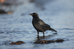 Rabenkrähe, Corvus corone Stockbild