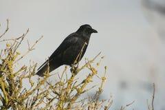 Rabenkrähe, Corvus corone, Lizenzfreie Stockbilder