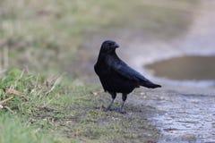 Rabenkrähe, Corvus corone, Lizenzfreie Stockfotografie