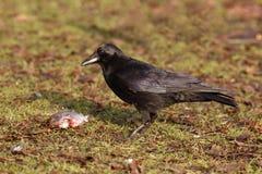 Rabenkrähe, Corvus corone, Lizenzfreies Stockbild