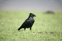 Rabenkrähe, Corvus corone Stockfotografie
