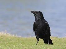 Rabenkrähe, Corvus corone Lizenzfreies Stockbild