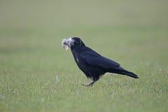 Rabenkrähe, Corvus corone Lizenzfreie Stockbilder