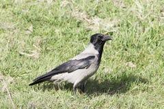 Rabenkrähe (Corvus corone cornix) Stockfoto
