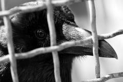 Rabenkrähe (Corvus corone) in einem Käfig Lizenzfreies Stockfoto