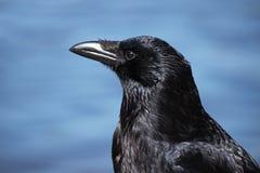Rabenkrähe Corvus corone Headshotporträt gegen ein blaues Ba Stockfotografie