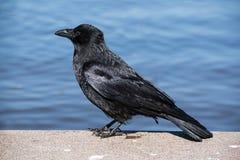 Rabenkrähe Corvus corone steht auf einer Steinwand am Wasser Lizenzfreie Stockfotografie