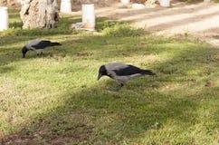 Rabenkrähe, Corvus corone, Vogel auf Grasfoto Stockfoto