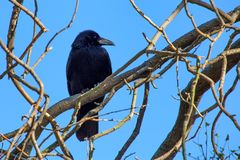 Rabenkrähe oder Corvus corone Stangen auf Niederlassung Stockfotografie