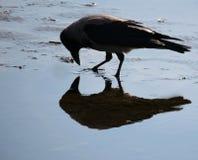 Rabenkrähe untersucht den Spiegel Stockfoto