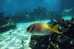 Rabfish Royalty-vrije Stock Afbeelding