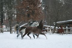 Rabian horses runs  in the snow in the paddock against a white fence and trees with yellow leaves. Red horse in the background . stock images