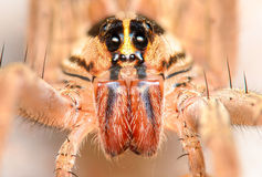 Rabidosa rabida - Wolf Spider. Large Rabidosa rabida wolf spider Portrait Headshot Royalty Free Stock Photo