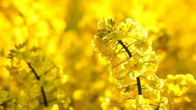 Rabina de la semilla oleaginosa