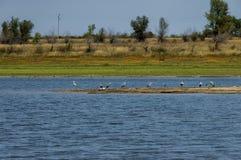 Rabisha  lake and group of great heron or grane Stock Image